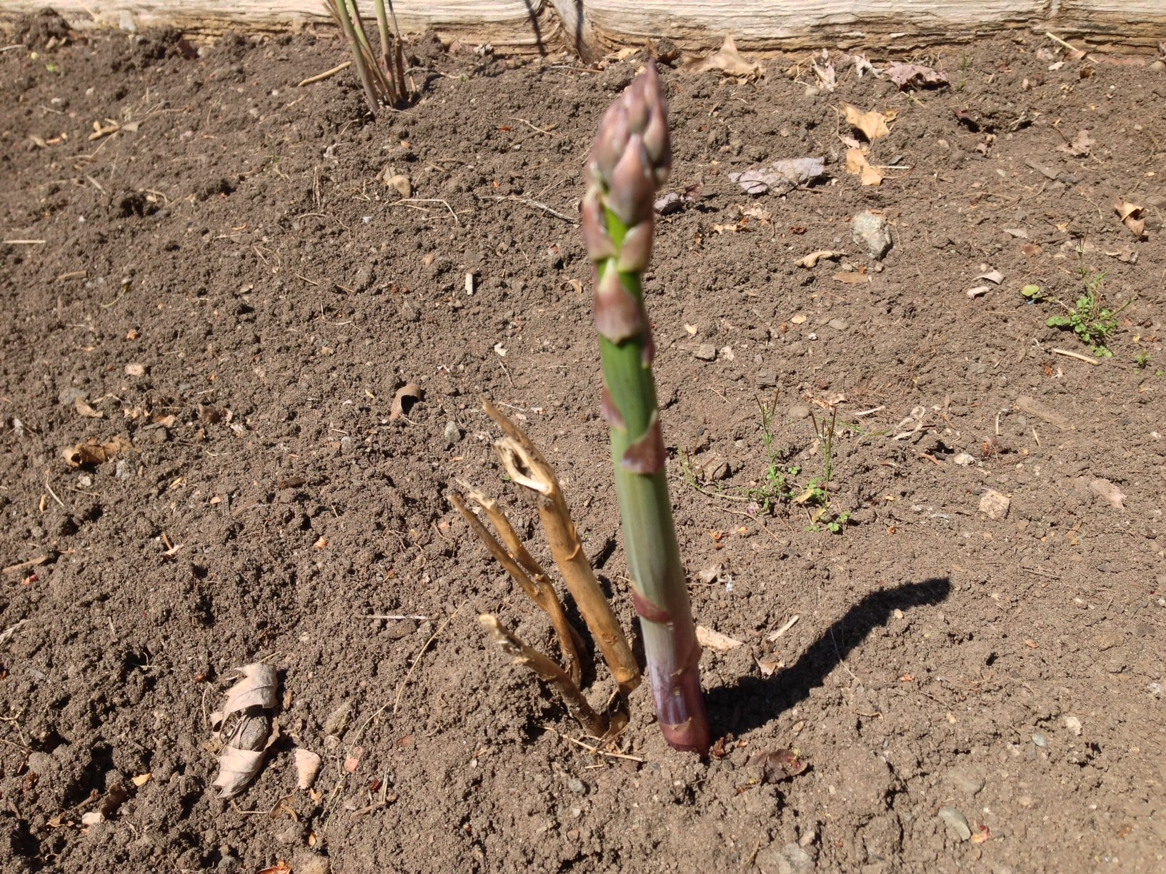 Growing Asparagus | Good Stuff At Home