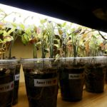 Tomato seedlings under lights