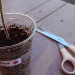thinning tomato seedlings