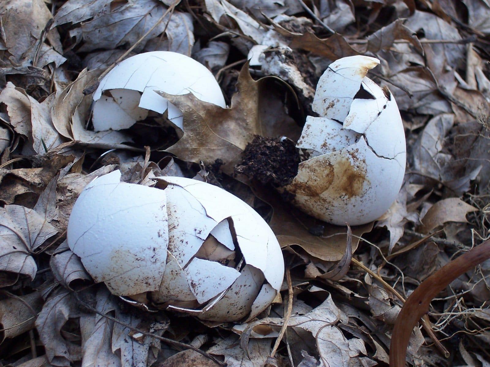Composting Egg Shells
